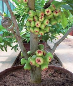 fruit in pot-green water guava