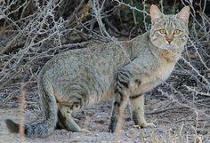 Gato Montés 2 Cat Rug, Strange Tales, Prehistoric Animals, Cheetah, Kangaroo, Cute Animals, Wild Animals, Rugs, Origins