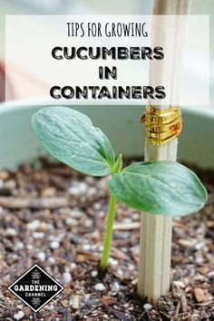 How to Grow Unlimited Cucumbers In Pots At Home - Even If You Don't Have A Garden Learn how to grow cucumbers in containers with these gardening tips, including cucumber varieties that grow well in planters and container gardens. Container Gardening Vegetables, Planting Vegetables, Organic Vegetables, Vegetable Gardening, Organic Fruit, Flower Gardening, How To Grow Vegetables, Growing Vegetables In Containers, Growing Veggies