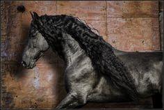 Friesian Horse Photography