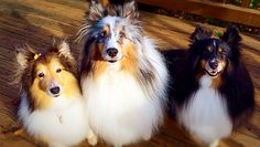 10 Things Only A Shetland Sheepdog Owner Would Understand | WOOFipedia by The American Kennel Club