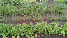Anbau-Tipps: Pflanzen, die sich miteinander vertragen: Beeinflussen positiv Ihr Wachstum und damit die Ernte. Nutzen die Nährstoffe aus dem Boden optimal.