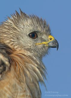 Red shouldered hawk. Everglades National Park.