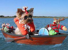 sailing yorkie!