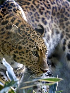 Amur leopard by Joe Motohashi on 500px*