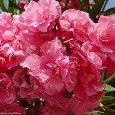Laurier rose - Nerium oleander Rose Double Wonderful Flowers, Beautiful Flowers, Oleander Plants, Pic Vert, Summer Plants, Nerium, Plantation, Flower Beds, Four Seasons