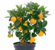 Oranger: planter et entretenir les orangers                                                                                                                                                                                 Plus