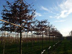 carpinus betulus  haagbeuk blokvorm op stam van 220 cm. kubus 70x70x100 of 100x10x100.  De maat 14-16 met kluit kost €125,-