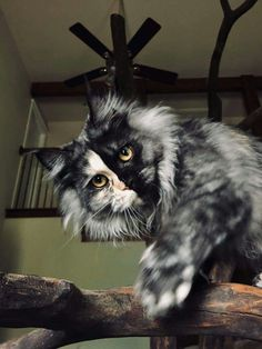 Beautiful Maine Coon Cats For Sale Beautiful Maine Coon Cats For Sale . - Beautiful Maine Coon Cats For Sale Beautiful Maine Coon Cats For Sale - Pretty Cats, Beautiful Cats, Animals Beautiful, Gato Maine, Maine Coon Cats, I Love Cats, Crazy Cats, Cool Cats, Cute Kittens