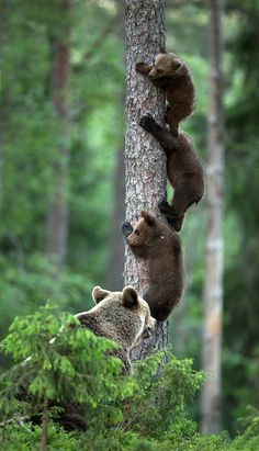 The three tree by Lauri Tammik on one little bear. Two little bears. three little bears.ah shit, one big bad momma bear! Animals And Pets, Baby Animals, Funny Animals, Cute Animals, Wild Animals, Wildlife Photography, Animal Photography, Beautiful Creatures, Animals Beautiful