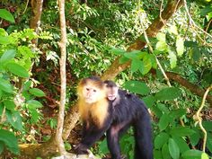 Welcome to the newest member of the Jungle Land family.  This little guy showed up this morning to the delight of our guests and staff!  Welcome baby Capuchin!  www.junglelandpanama.com