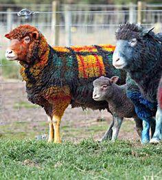 Tartan clan: Grant Bell's sheep