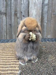 // this is mabel. a five week old holland lop bunny. Cute Baby Bunnies, Funny Bunnies, Bunny Bunny, Cutest Bunnies, Pet Bunny Rabbits, Funny Pets, Cute Little Animals, Cute Funny Animals, Tier Zoo