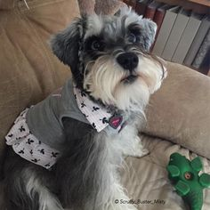 "338 Likes, 26 Comments - Scruffy, Buster & Misty (@scruffy_buster_misty_schnauzer) on Instagram: ""Misty  my favorite toy out of two toy boxes full and it was my brother Scruffy's very first toy,…"""