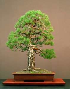 Pine Bonsai  More At FOSTERGINGER @ Pinterest ️️