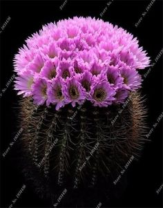 Colorful Variety Of Prickly Pear Cactus Plants Cacti Succulent Pots Sementes De Cactos Semillas De Flores Bonsai Seeds Beautiful 30 Pieces A Bag