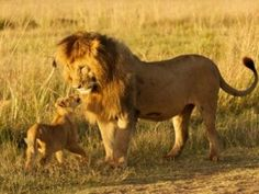 Asiatic lion population is increasing phenomenally