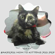 #A472721 (Moreno Valley CA) female tortie Domestic  The shelter thinks I am about 1 year and 6 months old. I have been at the shelter since Apr 27 2017 and I may be available for adoption on May 04 2017 at 11:26AM.  http://ift.tt/2oFuA7e  Moreno Valley Animal Shelter at (951) 413-3790 Ask for information about animal ID number A472721  #Adoptdontshop #Adoptdontshopcalifornia #morenovalley #californiascats #catsofinstagram #savealifeadopt #savealifeadoptapet #southerncalifornia #spayandneuter…