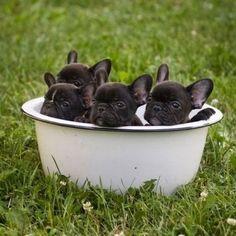 # Chase  Baby French Bulldogs Bath Time! ha ha ha ha ha ha ha ha ha ha ha:-) Limited Edition French Bulldog Tee http://teespring.com/lovefrenchbulldogs