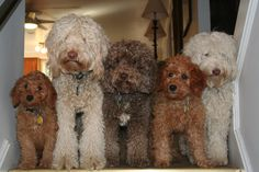 Labradoodles in all colors