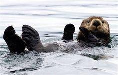 LOVE sea otters!  I wish we had a zoo here.