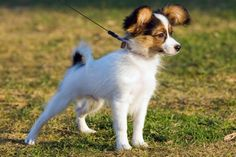 Toy Papillon Puppies | Papillon History and Health Temperament & Personality Appearance ...