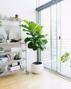 Indoor Trees That Make a Statement#indoor #statement #trees Fig Leaf Tree, Fig Leaves, Fig Plant Indoor, Fig Newton Recipe, Fig Flatbread, Fig Preserves Recipe, Bacon Wrapped Figs, Fig Smoothie, Figs Benefits