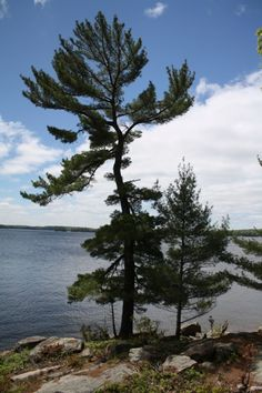the look: the iconic wind swept pine the locale: Paton Point, Lake Rosseau