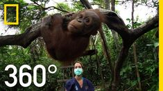 National Geographic VR takes you inside the International Animal Rescue sanctuary in the forests of Borneo to see what it takes to teach a baby orangutan… to...