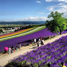 Furano lavender. Looking for more information aboout Hokkaido? Go Visit Japan Visitor.  http://www.japanvisitor.com/