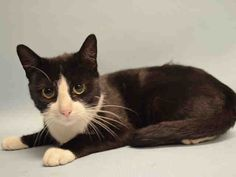 SAFE - 11/11/15 - EMMY - #A1056371 - - Manhattan  **TO BE DESTROYED 11/10/15** BEGINNER-rated EMMY is a trusting young mama who has shown stellar behavior since coming to the ACC, even though she must be concerned about the safety of her little family. Yes, she came into the ACC system with her babies, Peyton and Cecil, the whole crew carried in after hanging out in the finders' home for a week.