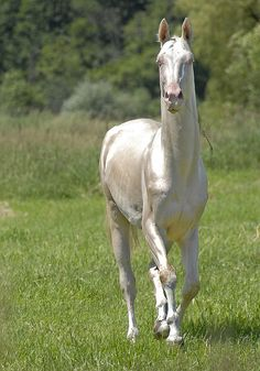 Habib Shael by Kerri-Jo, via Flickr.  An akhal-teke horse, famous for the metallic sheen of their coats.