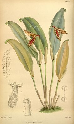 v.146 [ser.4:v.16] (1920) - Curtis's botanical magazine. - Biodiversity Heritage Library