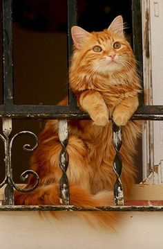Beautiful cat, why is it hanging out an open window.