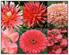 Some of the best coral easy-to-grow flowers that I can recommend are ( top left, clockwise) Dahlia 'Beach Bum', Dahlia 'Coral Gypsy', Zinnia Benary's Giant Salmon Rose, Sweet Pea 'Valerie Harrod', Zinnia 'Dreamland Coral' and Diascia 'Coral Belle'.