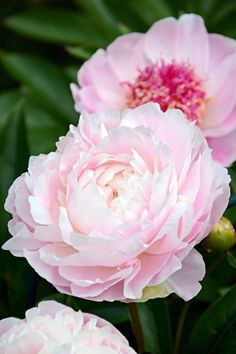 Paeonia lactiflora 'Mrs Franklin D. Beautiful Gardens, Beautiful Flowers, Paeonia Lactiflora, Floral Vintage, Floral Artwork, Oil Painting Flowers, Flowering Trees, Flower Photos, Botanical Art