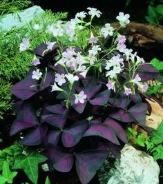 Oxalis Triangularis (Purple Shamrock) ...these look great in my containers (but in zone 5b I will need to dig the little bulbs and over-winter them)!