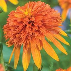 Marmalade Coneflower Light Full Sun Size plant Zone 3 to 9 Bloom Time Summer To Fall Height 26 - 30 inches Soil Requirement Well drained Deer Resistant Perennial Bulbs, Sun Perennials, Bulb Flowers, Large Flowers, Simple Flowers, Flower Garden Plans, Flowers Garden, Garden Ideas, Flower Gardening