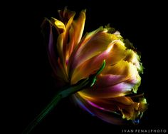 Glowing Tulip by Ivan Peña on 500px