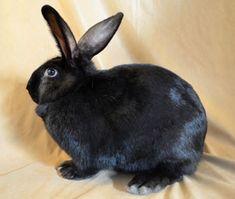 Beveren Rabbit