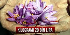"""Karabük'ün Safranbolu ilçesiyle özdeşleşen, boya, yemek, kozmetik, ilaç ve gıda gibi birçok alanda kullanıldığı için """"mucize bitki"""" olarak adlandırılan safran, çiçek açtı.  Kaynak:http://www.trthaber.com/haber/turkiye/safran-cicek-acti-105469.html"""