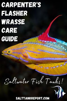 Everything you need to know about keeping Carpenter's Flasher wrasse saltwater fish. Saltwater Fish Tanks, Saltwater Aquarium, Aquarium Fish, Fishing For Beginners, Aquariums, Betta Fish, Carpenter, My Favorite Things, People