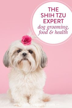 Here are my favourite Quick & Easy Shih Tzu haircuts and Top tips for Shih Tzu grooming that you can use Today! Ideas for Dog Lovers. Shih Tzu Grooming Styles, kit, tips and Face Grooming. Shih Tzus, Shih Tzu Hund, Shih Tzu Puppy, Yorkie, Shih Poo, Teacup Chihuahua, Corgi Puppies, Dog Grooming Tips, Dog Grooming Business