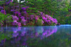 Wild azaleas in the chilly morning. Taken at lake Tsuten-ko(通天湖), Kyoto