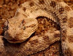 """One of the poisonous snakes the Egyptians feared most was the horned viper (Cerastes cornutus and Cerastes cerastes, also known as the sand viper). When the horned viper attacks, it rasps its coils together before springing forward. The rasping sounds like the letter f, and the horned viper was used as the hieroglyph to write the sound (fy is the Egyptian word for """"viper"""" as well)."""