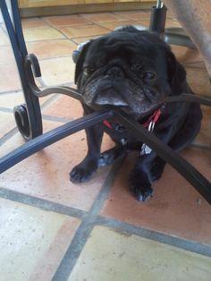 Sir Pugsley is a sleepy pug.