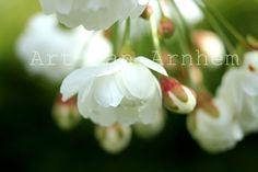 Naturfotografie +Frühling 2013+ Wenn die Kirschblüte beginnt, träume ich schon von Sommer und Kirschkuchen. Träum mit!
