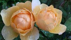 Roses, Raindrop, Drop Of Water