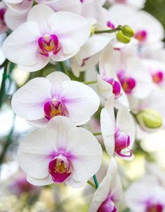 white phalaenopsis orchid flower by aopsan on @creativemarket