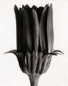 Botanical still life by Karl Blossfeldt Photography Karl Blossfeldt, Natural Form Artists, Natural Forms, Still Life Photography, Fine Art Photography, Nature Photography, Botanical Art, Botanical Illustration, Fotografia Macro